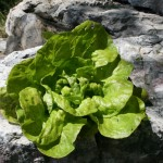 In 2014 our lettuces were well-formed, plentiful and delicious