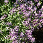 April - alyssum
