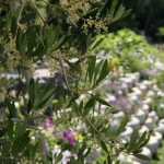 May - olive flowers