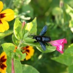 July - carpenter bee