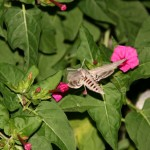 July - hawk moth 1